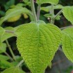 image salvia-raymondii-leaf-jpg