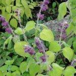 Salvia raymondii subsp. raymondii
