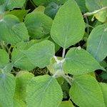 image salvia-raymondii-plant-jpg