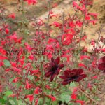 Salvia roemeriana