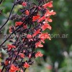 Salvia rubescens