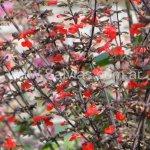 Salvia rubescens subsp. dolichotrix