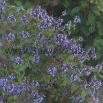 Salvia rubiginosa