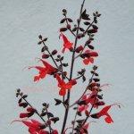 image salvia-rubriflora-flower-spike-jpg