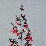 image salvia-rubriflora-inflorescence-jpg