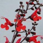 Salvia rubriflora