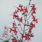 image salvia-rubriflora-jpg