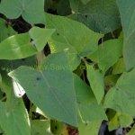 image salvia-sagittata-pe160032-leaves-jpg