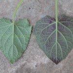 image salvia-scutellarioides-gocta-leaf-comp-jpg