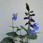 Salvia scutellarioides 'Gocta'