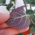 image salvia-scutellarioides-purple-leaf-form-jpg