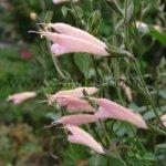 S. striata de flores rosadas