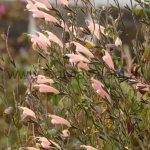 Salvia striata
