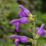 Salvia styphelus