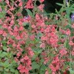 Salvia 'Silkes Dream'