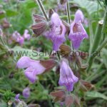 Salvia 'Southern Belle'