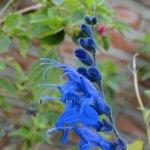 image salvia-sagittata-flower-spike-jpg