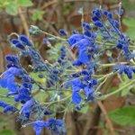 Salvia sagittata 'Cajamarca'