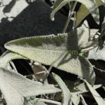 image salvia-sagittata-leaves-jpg
