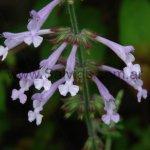 Salvia scabra