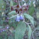 Salvia sanctae-luciae