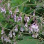 Salvia scaposa