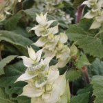 Salvia sclarea 'Alba'