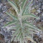 Salvia selleana