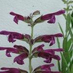 image salvia-sessilifolia-flowers-jpg