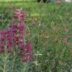 Salvia sessilifolia