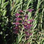 image salvia-sessilifolia-plant-jpg