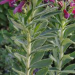 image salvia-sessilifolia-stem-jpg