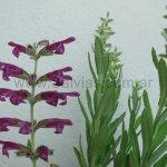 image salvia-sessilifolia-jpg
