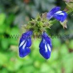 Salvia setulosa