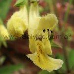 Salvia smithii