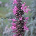 Salvia sp. Cajamarca 2