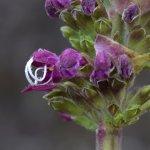 Salvia speciosa