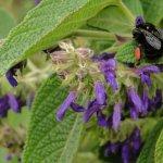 image salvia-sphacelioides-pollinator-jpg