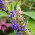 image salvia-sphacelioides-spike-jpg