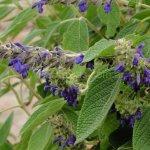image salvia-sphacelioides-spikes-jpg