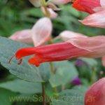 Salvia splendens 'Flamingo'
