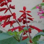 S. splendens 'Jimmi´s Good Red'