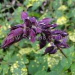 Salvia splendens 'Variegated Bicolour Burgundy and White'