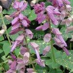 Salvia splendens 'Variegated Mauve'