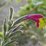 image salvia-sprucei-3-jpg