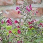 Salvia sprucei