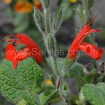 Salvia squalens 'Bright Red'