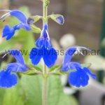 Salvia subpatens