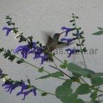 En Salvia guaranitica