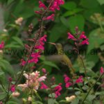 En Salvia 'Mulberry Jam'